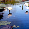 Okavango Water Lillies