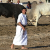 Oman Bullfighting