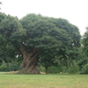 One Of The Ancient Chestnut Trees