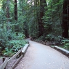 One Of The Paved Trails In Muir Woods