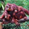 Orangutan Family At Night Safari, Singapore