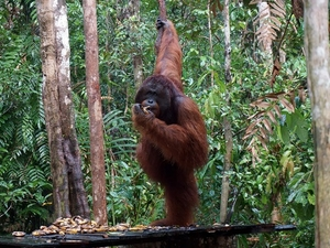 5 Days And 4 Nights Great Orangutan Tours Photos