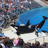 Orcas At Sea World Show