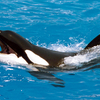 Orca With Open Mouth