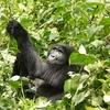 Oruzogo Gorilla @ Bwindi Forest UG