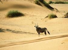 Oryx Gazella Namib Desert