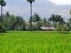 Paddy Fields In Palakkad