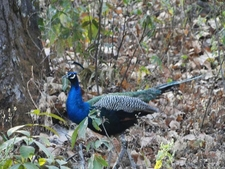 Peacock At Kanha National Park