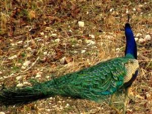 Pench Jungle Safari Package Photos