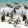 Boulder Beach Penguins