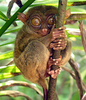 Philippine Tarsier And Wildlife Sanctuary