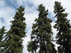 Picea Glauca  Fairbanks