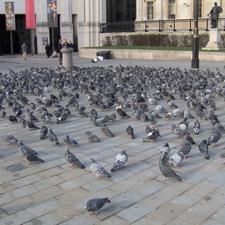 Pigeons - Trafalgar Square