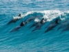 Pod Of Dolphins In Mozambique