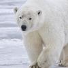 Polar Bear Alaska