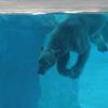 Polar Bear In Water Tank