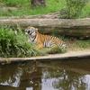 Prague Sumatran Tiger