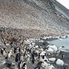 Paulet Island Adelie Pinguin Kolonie