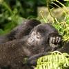 Resting Baby Gorillas @ Bwindi UG