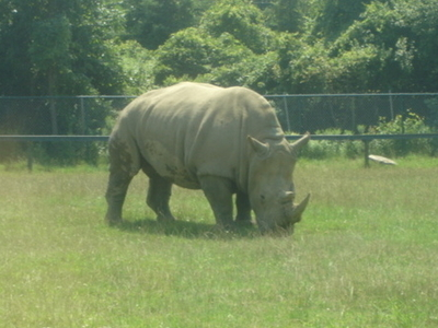 Rhino Grazing At The African Lion Safari