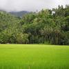 Rice Fields By Mambajao Camiguin