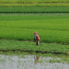 Ricefields In Takeo