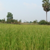 Rice Paddies In Baray.