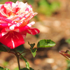 Government Rose Garden
