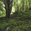 Reenadinna Yew Wood 1
