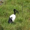 Sacred Ibis Lake Nakuru