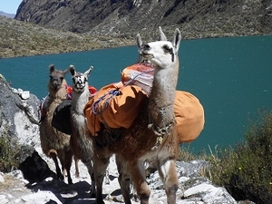 Hiking with Llamas, Santa Cruz / Vaqueria