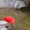 Scarlet Ibis 2 C Belgrade Zoo