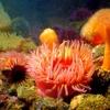 Seattle Aquarium - Sea Anemones