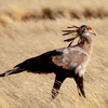 Secretary Bird - Namib Naukluft Park