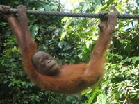 Sepilok Orang Utan Sanctuary