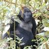 Silver Back Gorilla @ Bwindi Forest UG