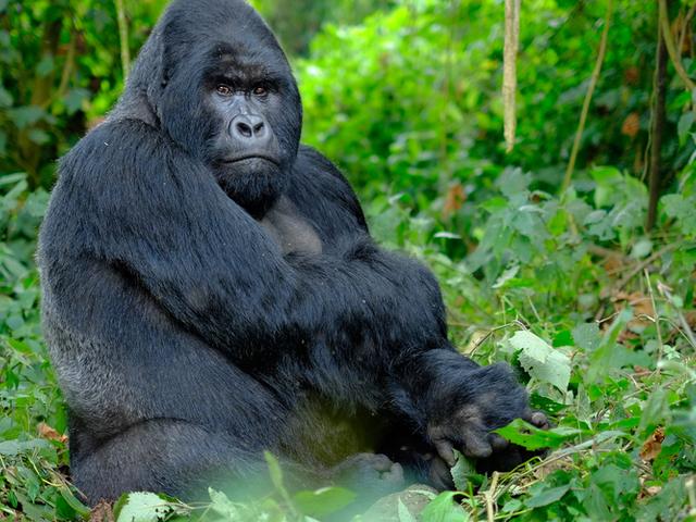 Gorilla, Chimps and Big Game Combo Photos