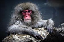 Snow Monkey At Jigokudani