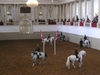 Lipizzan Stallions In The Winter Riding School Arena.
