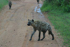 Spotted Hyena - Kruger National Park
