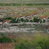 Springbok Flock - Etosha National Park Namibia