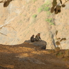 Sunset Point Monkey Pair - Matheran - Maharashtra - India