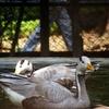 Swan Patna Zoo