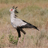 Secretary Bird In Kamuku National Park