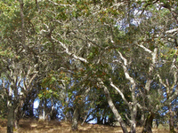 California Oak woodland