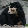 Spectacled Bear Houston Zoo