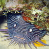 The Cozumel Splendid Toadfish