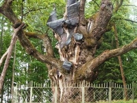 Stelmužė Oak