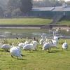 Swans At Ruislip Lido