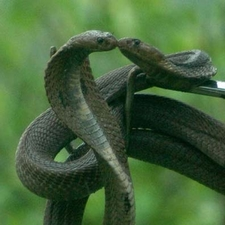 Indian Cobras Are Oviparous